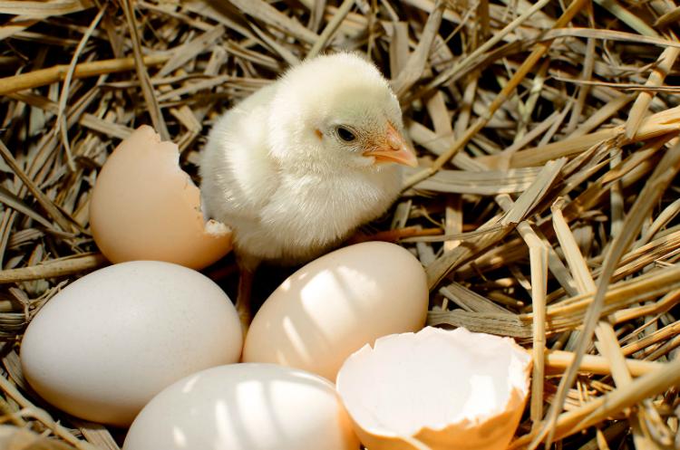 Como a quantidade de ovos eclodidos e a qualidade dos pintinhos podem influenciar nos seus lucros