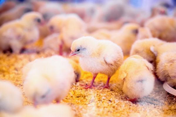 equipamentos corretos para aviários