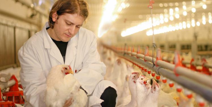 Avicultura Industrial: Como escolher um bom granjeiro?