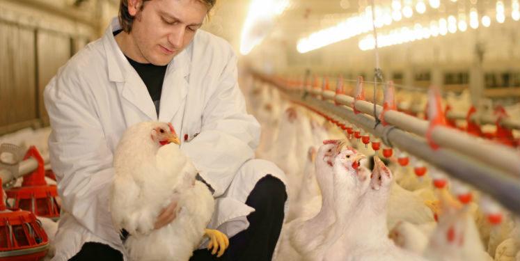 Ectoparasitas na produção de galinhas
