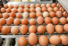 Incubação de ovos