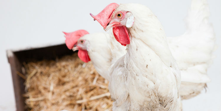 Why disinfection is fundamental to the poultry aviary?