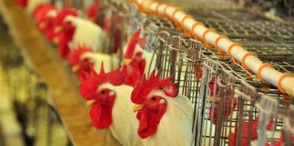 aviário de frango