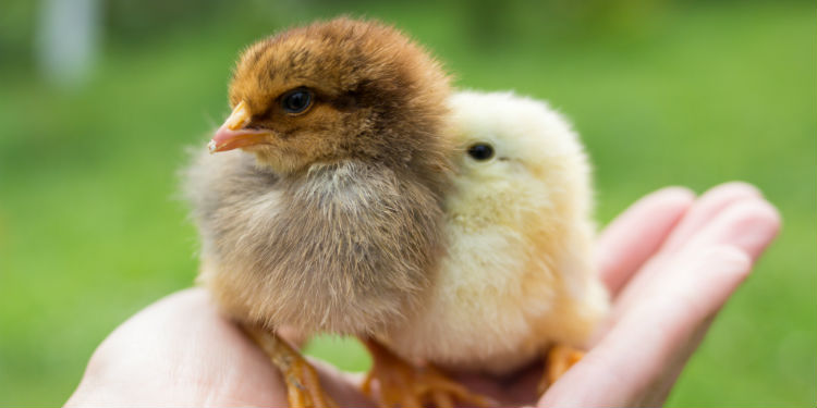 Broiler chicks: main cautions in the first weeks of life