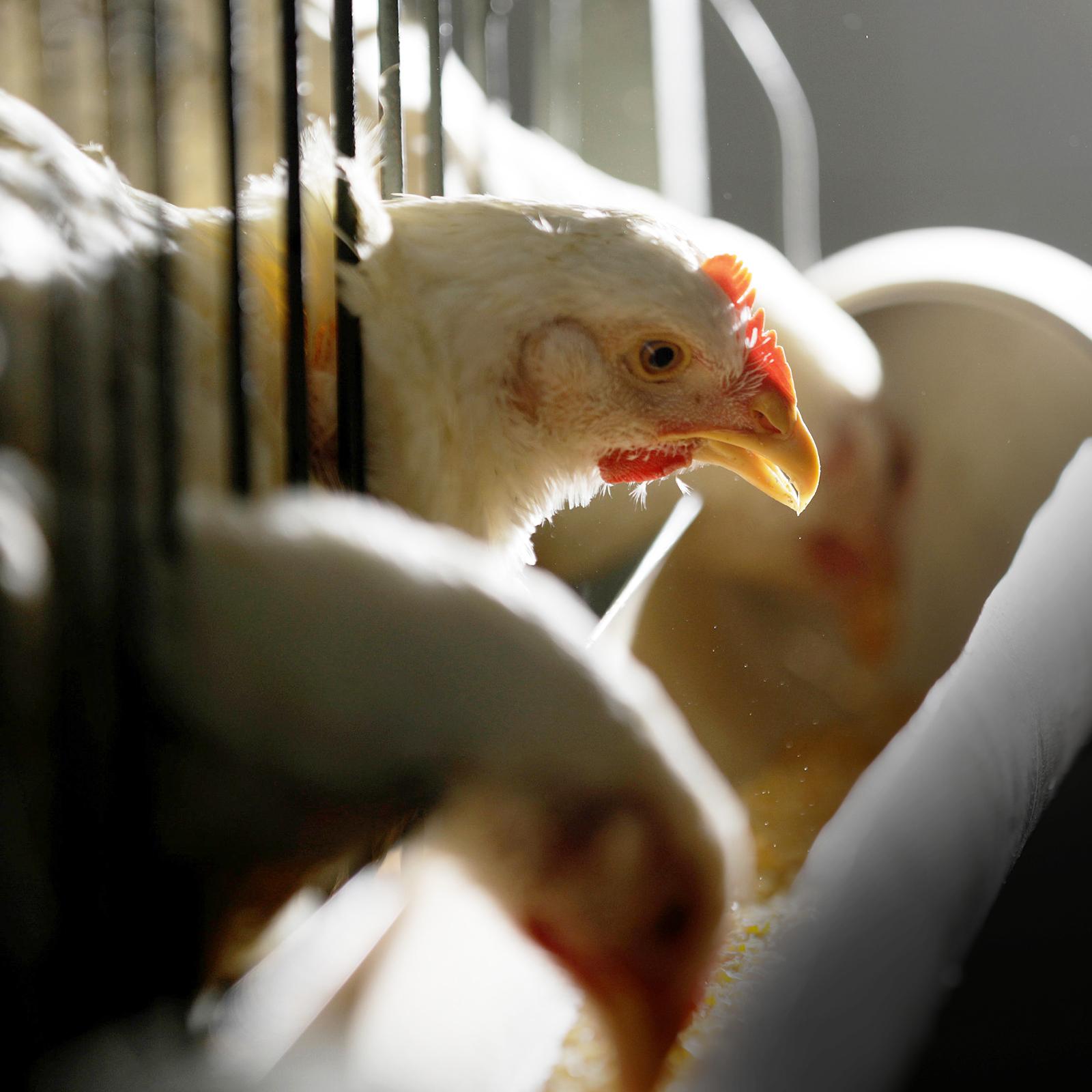 O mito dos hormônios em frangos de corte