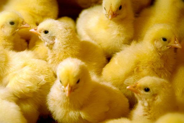 Limpeza e desinfecção adequadas de incubatórios e ovos são fundamentais para o sucesso da produção de frango